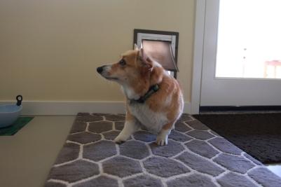The new dog door in action.